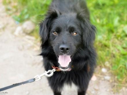 Chico  wesoły kudłacz  czarny pies co przyniesie Ci szczęście!