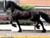 Frisian klacz koń 6 lat na sprzedaż