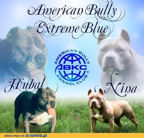 American Bully Extreme Blue szczeniaki ABKC amstaff,pitbul