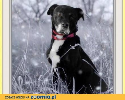 UWAGA! Nieufny do obcych  do stróżowania  pies BEN_Adopcja
