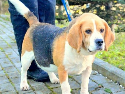 Bubel w typie beagle PILNIE szuka domu !