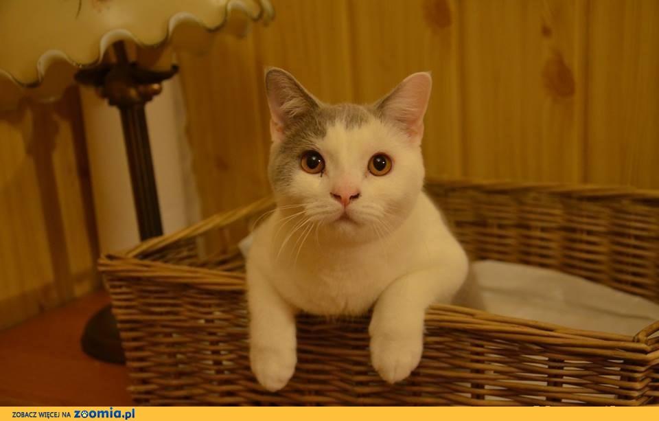 Wyjątkowy kot brytyjski dla dzieci z rodowodem WCF!
