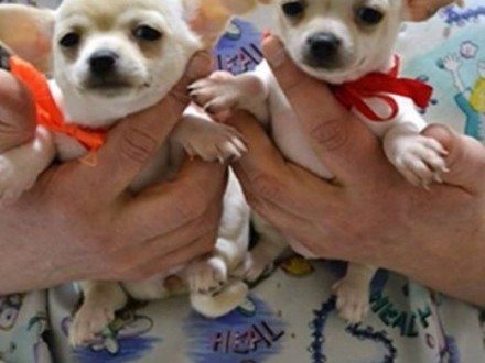 Piękna Chihuahua   Chihuahua cała Polska