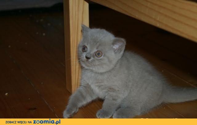 Koteczka liliowa brytyjska