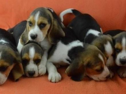 Szczenieta Beagle beagle