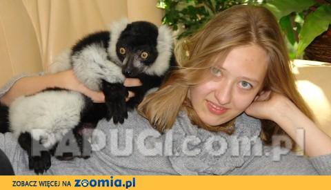 Lemur wari - oswojony