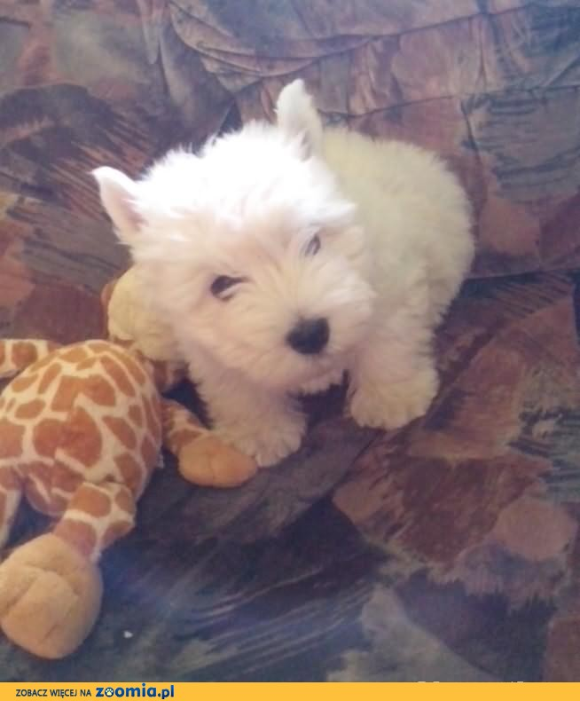 West, west highland white terrier,pies, suka westy, west