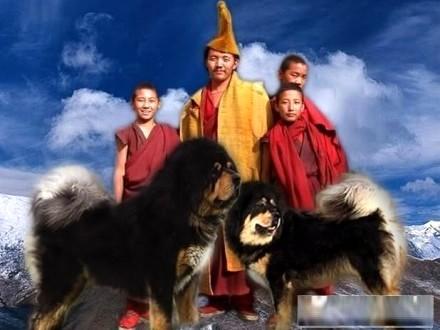 Mastif Tybetański - INDIE - szczenięta po CHAMPIONACH