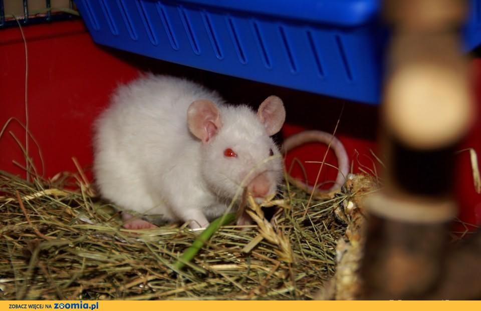 Szczur rex himalayan ! : ) maksymalnie 3 miesiące
