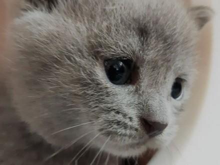 Kocięta Brytyjskie z Rodowodem Hodowla Myleami*PL