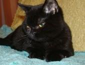 czarne kocięta brytyjskie z rodowodem FPL, DO ODBIORU