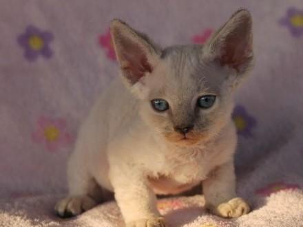 Devon rex niebieskooka koteczka
