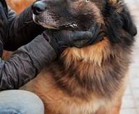 LEON piękny  łagodny  puszysty pies w typie leonberger szuka DOMU   mazowieckie Warszawa