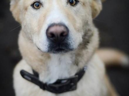 Duży  niezwykły Marcel - wspaniały pies szuka domu z ogrodem!