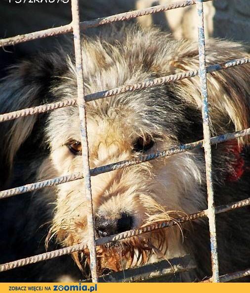 KAPSEL większy, uroczy, wrażliwy psiak szuka spokojnego DOMU,  mazowieckie Warszawa