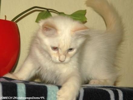 Koty Syberyjskie Neva Masquerade-UŚMIECH ZKolakowegoDomu*PL (FPL)