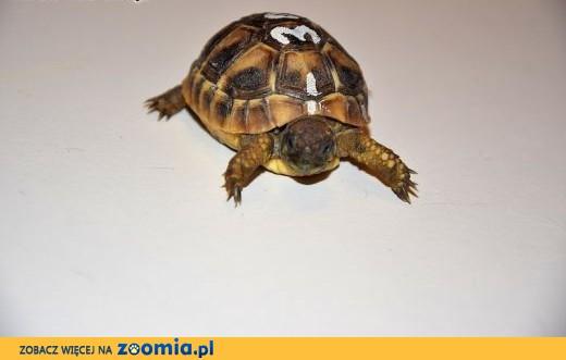 Żółwie greckie (Testudo hermanni ) Młode / Lipiec 2014 ! Żółty CITES,  wielkopolskie Poznań