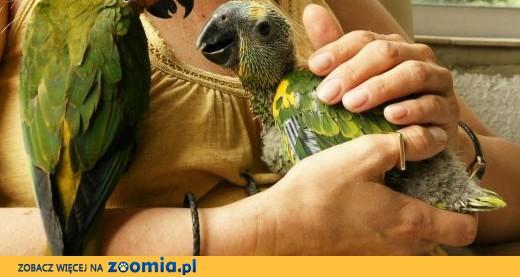 Amazonka niebieskoczelna ręcznie karmiona ,  mazowieckie Warszawa
