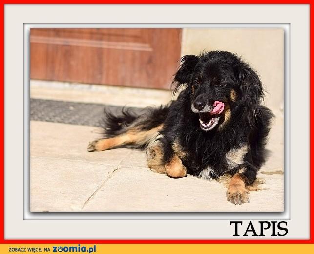 Odratowany,średni,spokojny,grzeczny,b_pozytywny,szczepiony psiak TAPIŚ_Adopcja_