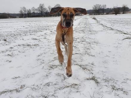 Tequila dog niemiecki szuka domu   dolnośląskie Wrocław