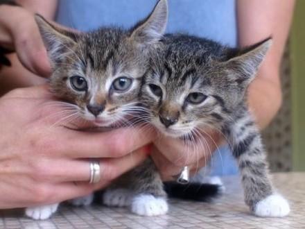 6 tygodniowe kociaki do adopcji