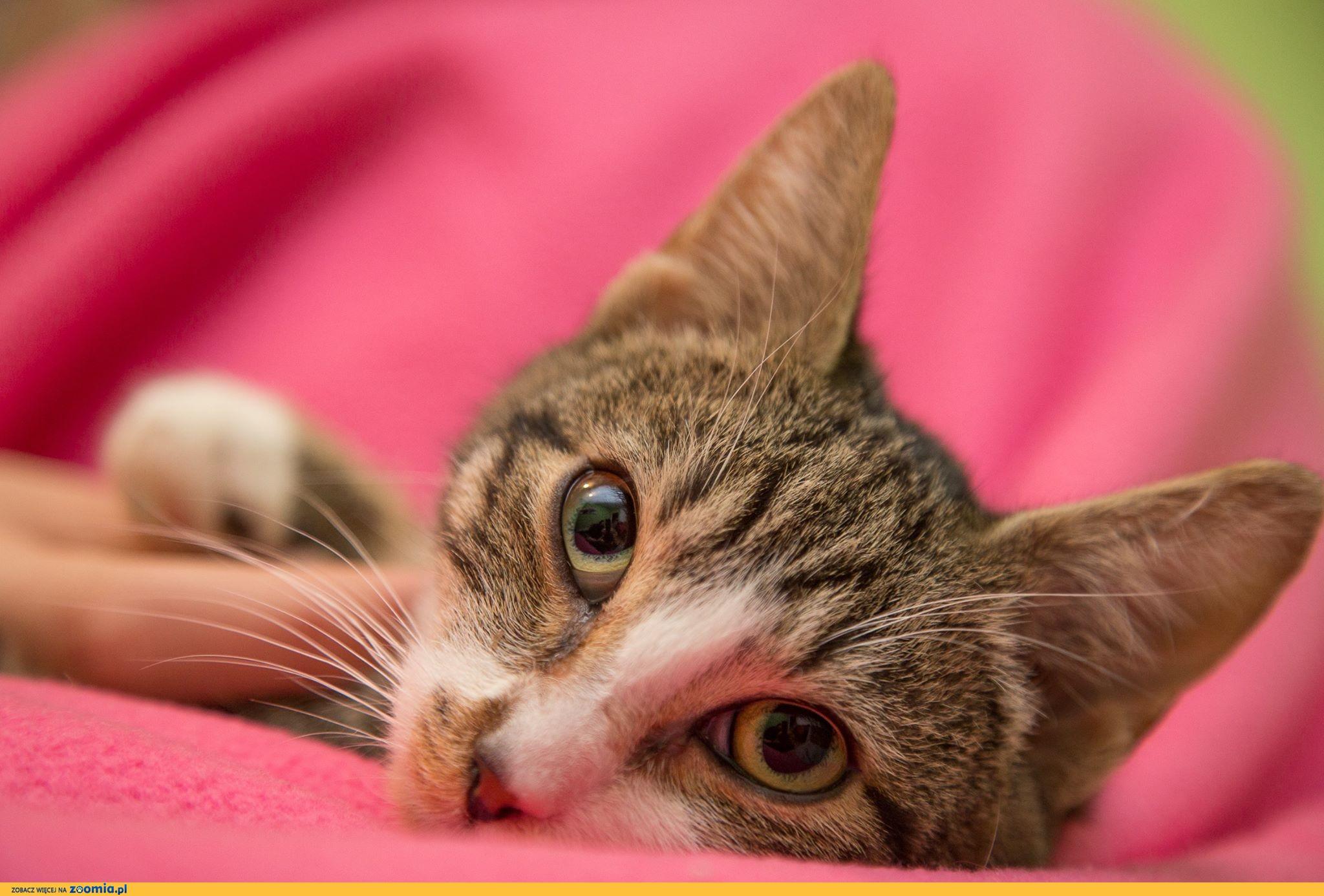 6 miesięczny Tymuś, delikatny koteczek do adopcji!