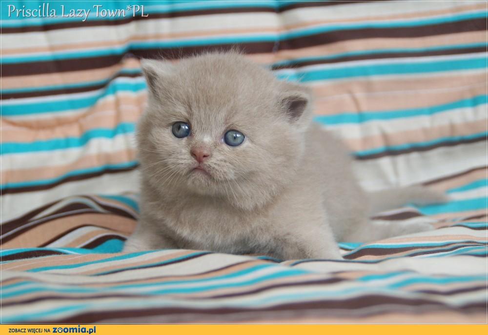 Kocięta brytyjskie kotka brytyjska rodowód WCF