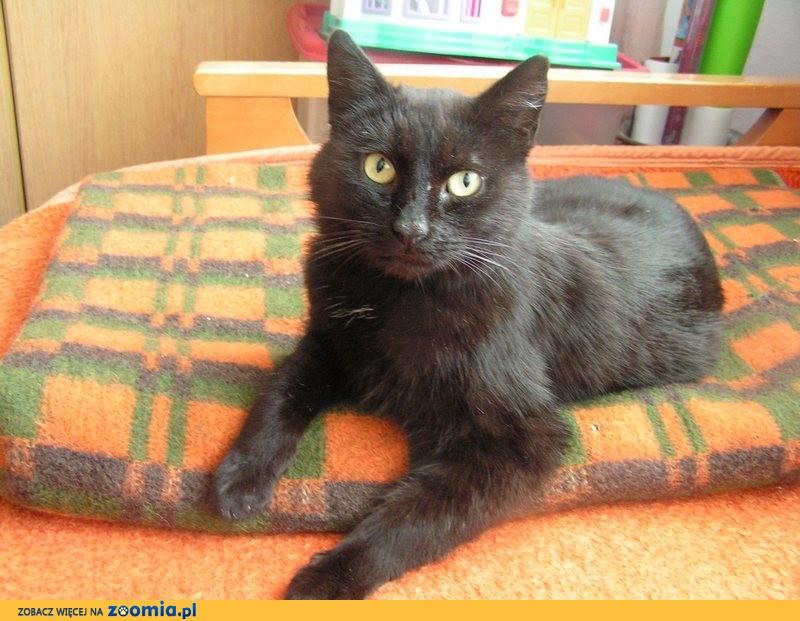 Dorosły kot Emilek szuka domu