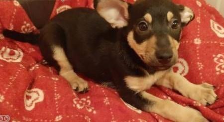 KOKOSZ - cudny  3 miesięczny szczeniak szuka domu!   mazowieckie Warszawa