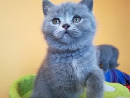 Koteczka brytyjska Katie- hodowla Kocia Strefa*PL 5-cio pokoleniowy rodowód FFE/ICF