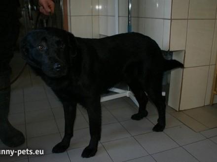 Czarnulek - młody piesek w typie labradora szuka domu