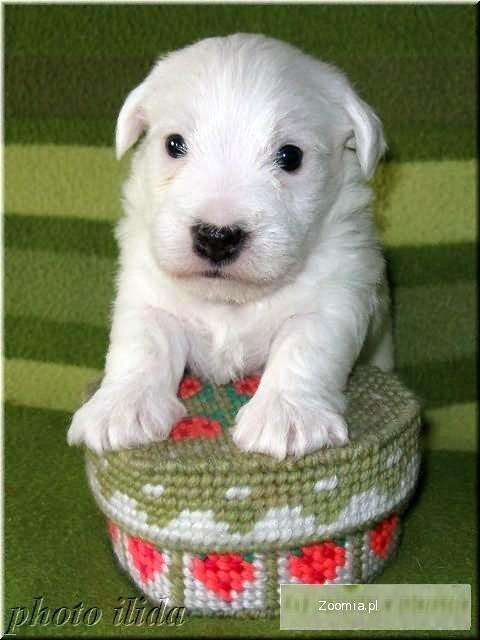 Szczenięta Jack Russell Terrier z Białej Sfory FCI