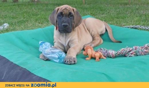 Dogi niemieckie szczeniaki,  Dog niemiecki cała Polska