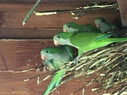 Papugi młode mnichy nizinne i świergotki