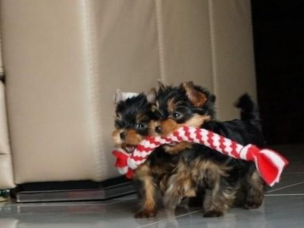 Miniaturka mini Yorkshire terrier rodowód York yorki
