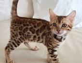 Kot bengalski - bengal cat,  wielkopolskie Konin