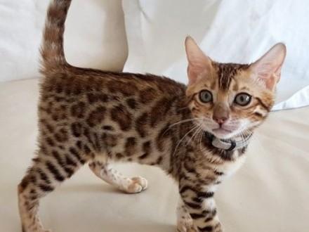 Kot bengalski - bengal cat   wielkopolskie Konin