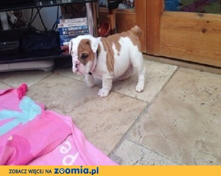 Bulldog Angielski