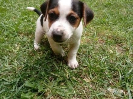 Pieski Jack Russell Terrier   łódzkie Rawa Mazowiecka