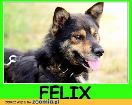 Średni 16 kg   kontaktowy  łagodny  towarzyski piesek FELIX_Adopcja_