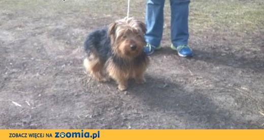 Zaginął 2-letni Bonzo w typie yorka ,  mazowieckie Warszawa