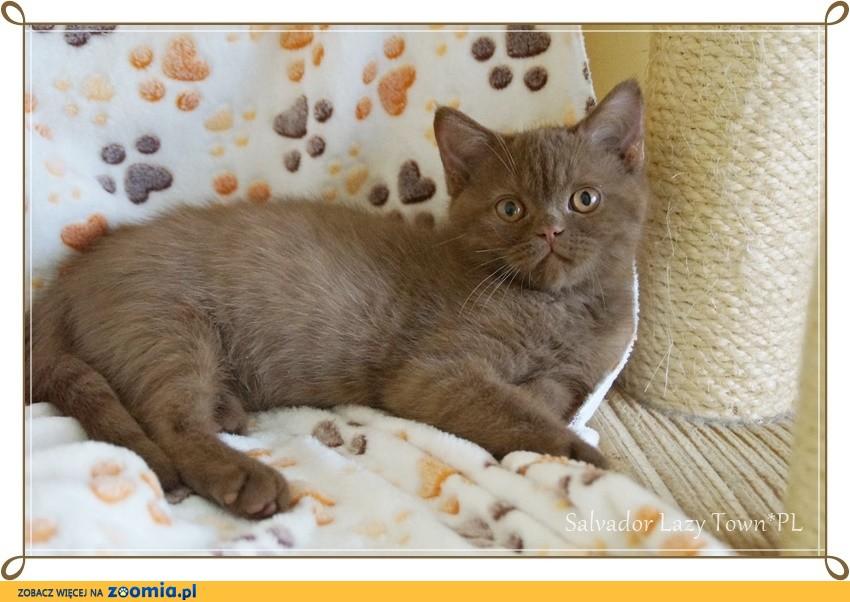 Cynamonowy kot brytyjski rodowód WCF