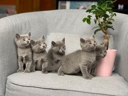 Kocięta Rosyjskie Niebieskie