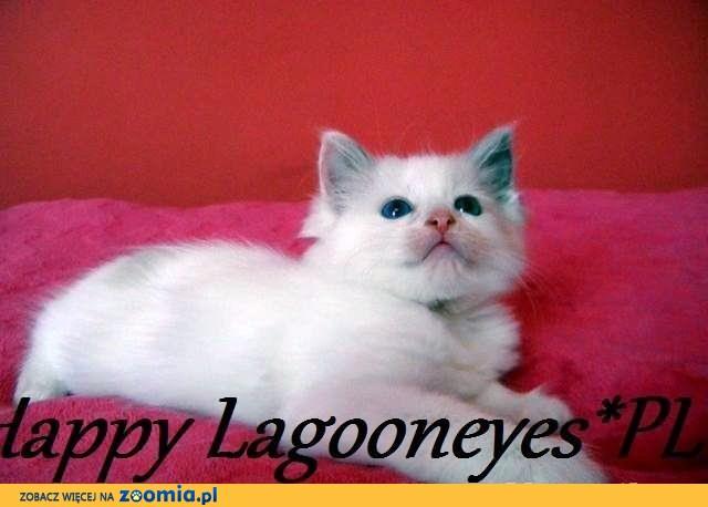 Hodowla LagoonEyes kocięta Ragdoll po InterChampionie!