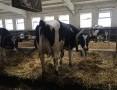 'Krowy pierwiastki HF czeskie