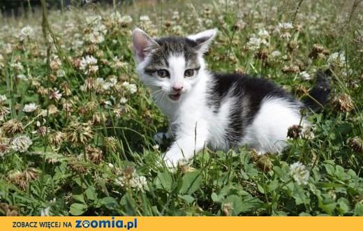 8 tygodniowe kocięta szukają kochających domów!,  Koty pospolite cała Polska