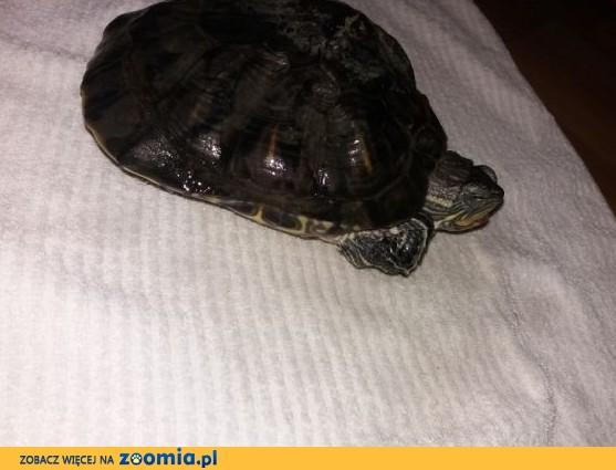Żółw wodno-lądowy