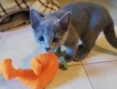 Kocurek - Rosyjski Niebieski kocięta PZF / WCF