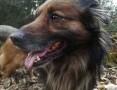 Puchacz - pies puchatek, na krótkich łapkach, kocha człowieka nad życie,  mazowieckie Warszawa