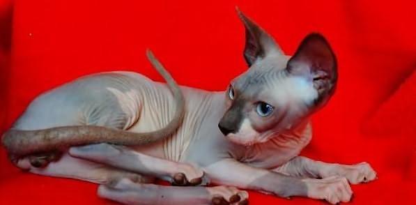 Kot Sfinks Ogłoszenia Z Hodowli Koty Sfinks Zoomiapl Pl 3